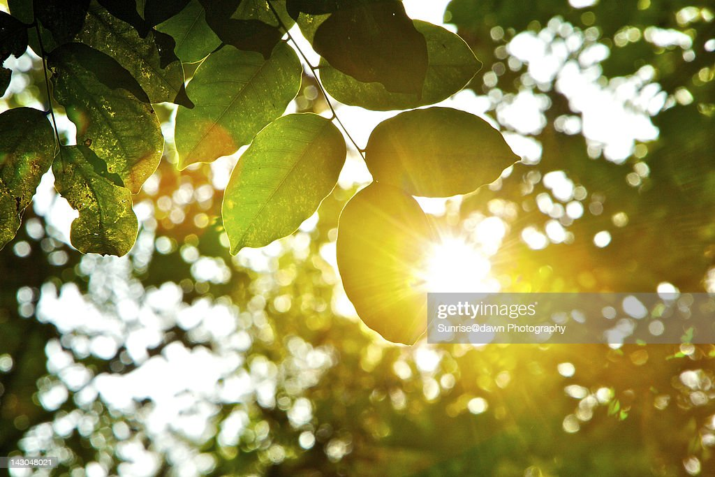 Sunlight beaming through tree leaves : Stock Photo