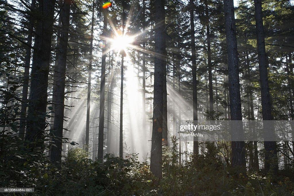 Sunlight breaking through trees in forest (lens flare) : Stock Photo