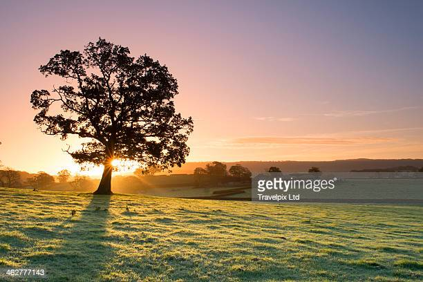 Sunlight bursting through oak tree at dawn