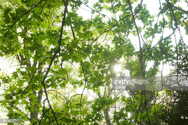 Sunlight coming through leaves of sycamore tree
