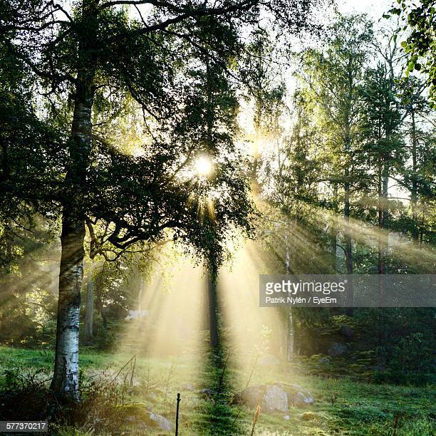Sunlight Emitting Through Trees In Forest