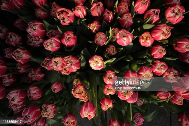 Sunlight falls on flowers on the rooftop terrace at the Dutch Ambassador's residence during the Tulip Days celebration March 28, 2019 in Washington,...