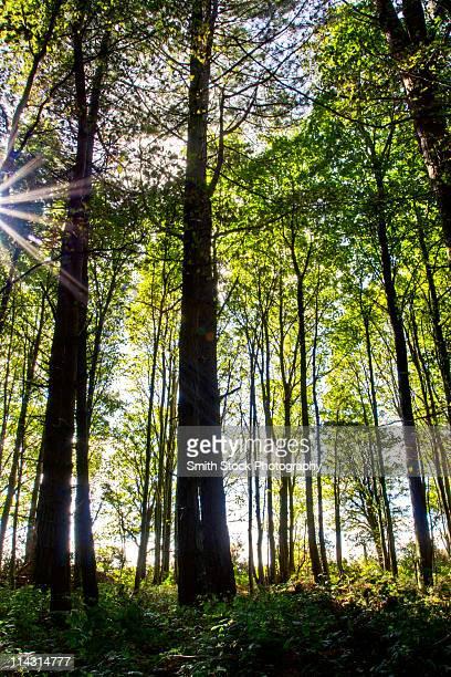 Sunlight filtered through Beech trees