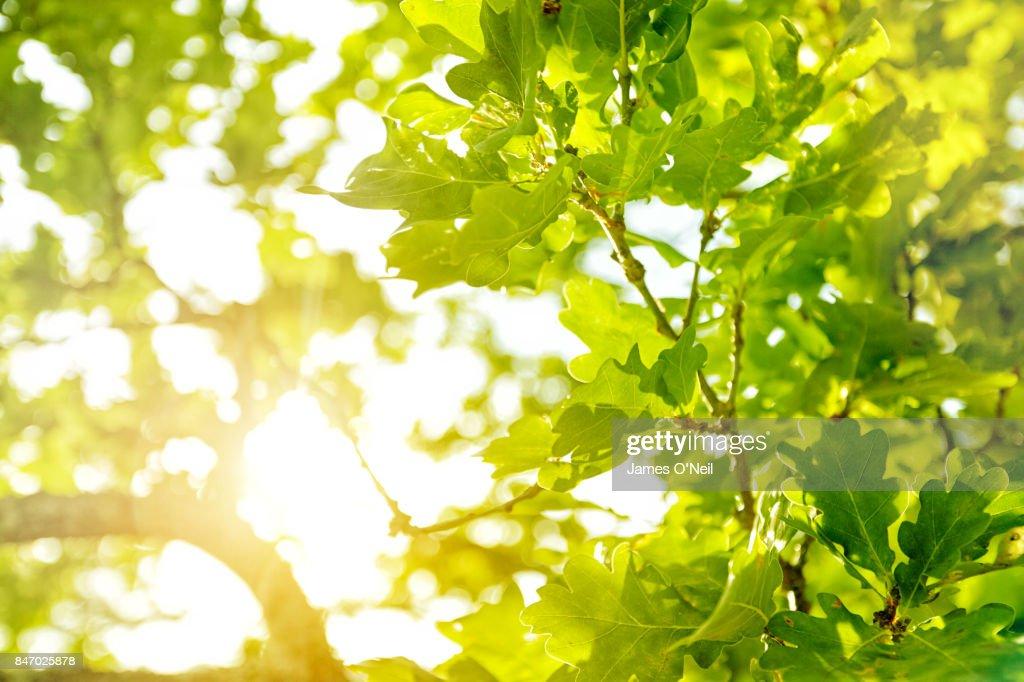Sunlight filtering through oak leaves : Stock Photo