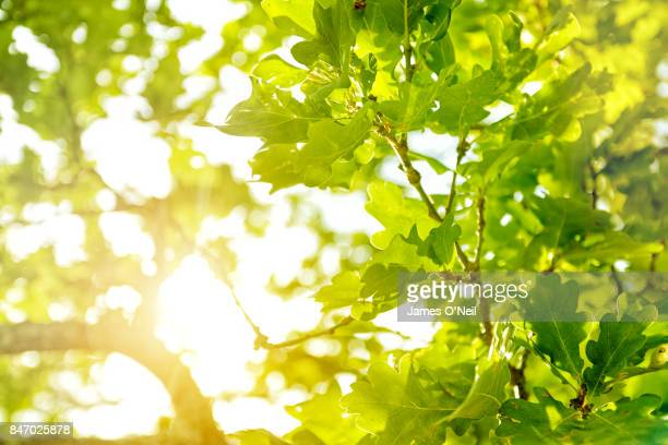 Sunlight filtering through oak leaves