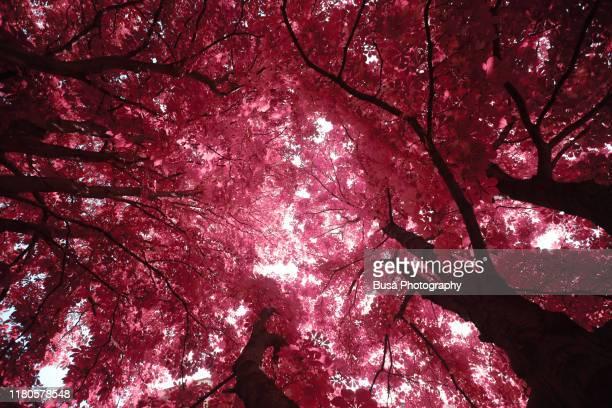 sunlight filtering through trees foliage - infrarosso foto e immagini stock