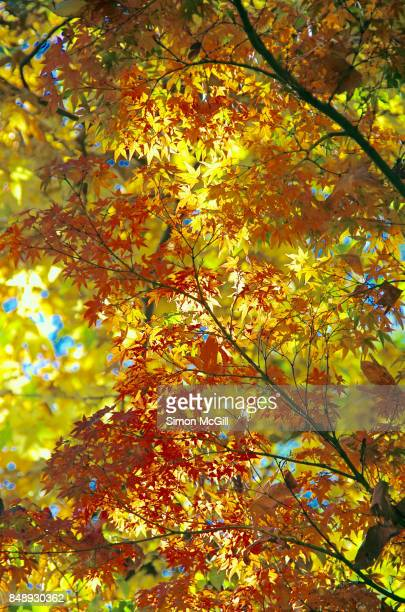 Sunlight filters through the leaves of liquidambar, also known as sweet gum, and Japanese maple trees during autumn in Canberra, Australian Capital Territory, Australia
