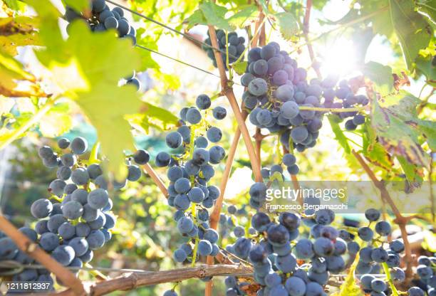 sunlight filters through the ripe grapes on the vine tree. - italia stock-fotos und bilder