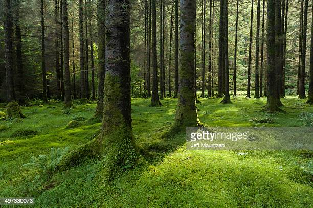 Sunlight illuminates moss on the forest floor of Gougane Barra park.
