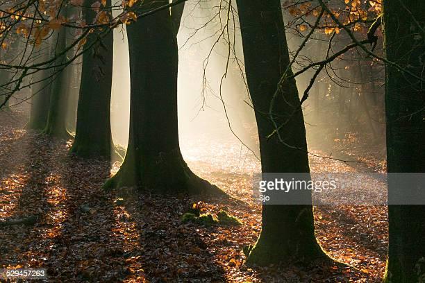 """luz solar em uma floresta de outono faia - """"sjoerd van der wal"""" or """"sjo"""" imagens e fotografias de stock"""