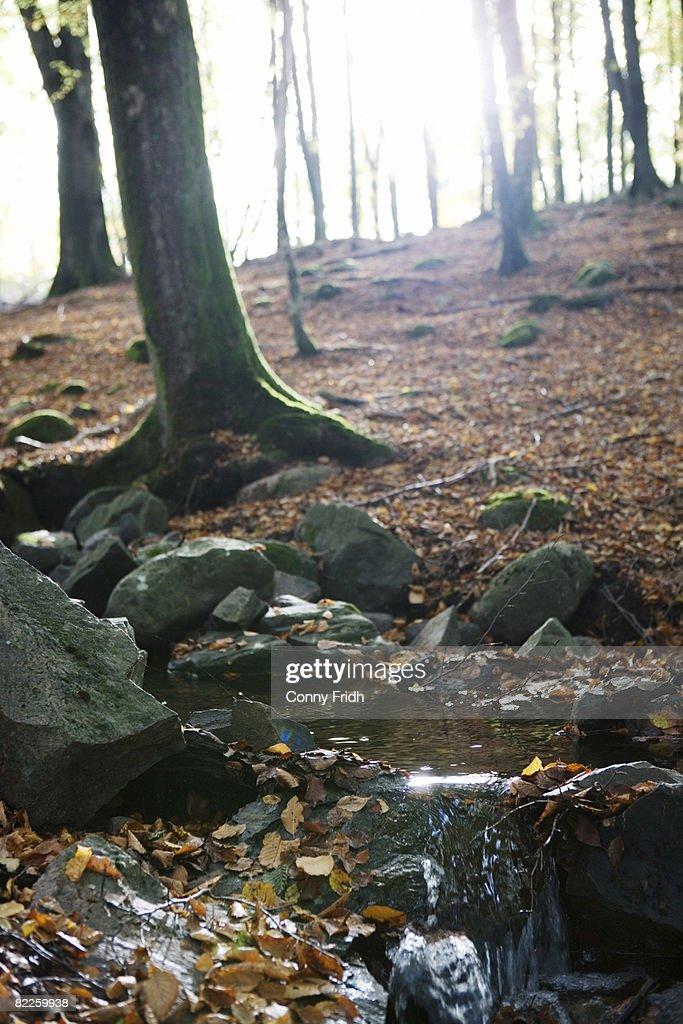 Sunlight in a forest Skane Sweden. : Stock Photo
