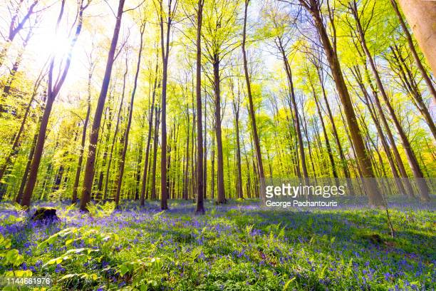 sunlight in a forest with bluebell carpet - wilderness area stock pictures, royalty-free photos & images