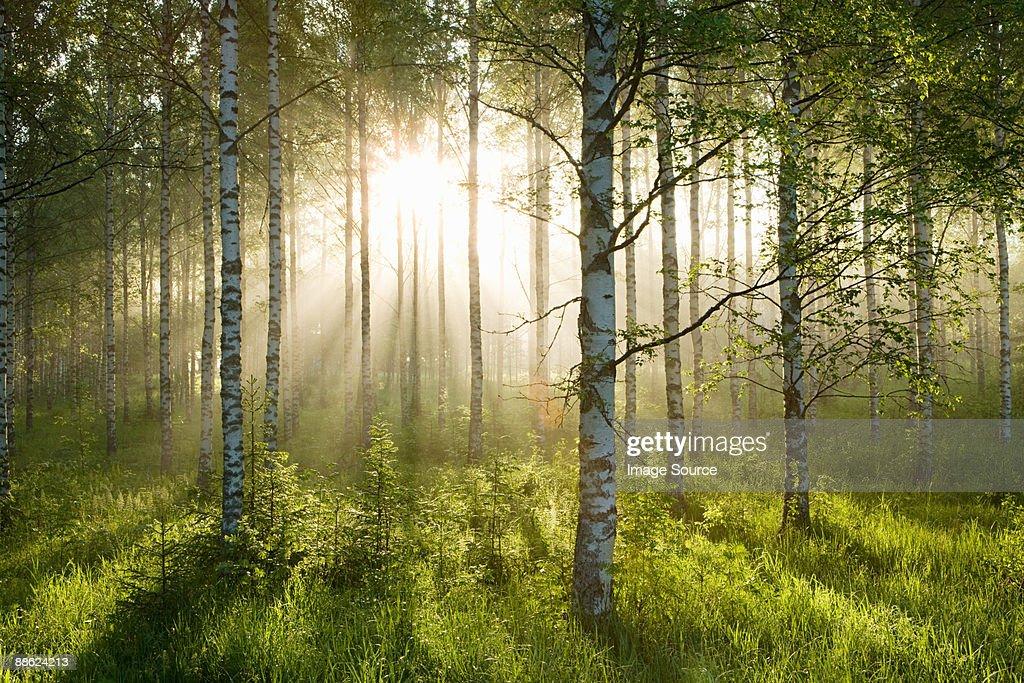 Sunlight in forest of birch trees : Stock Photo