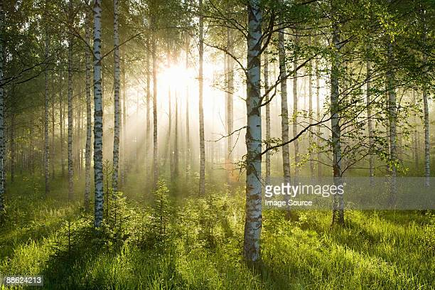 sunlight in forest of birch trees - deciduous tree stock pictures, royalty-free photos & images