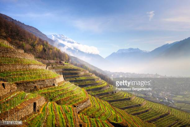 sunlight in the wineyards at spring. bianzone,  valtellina, lombardy, italy, europe. - lombardy stock pictures, royalty-free photos & images