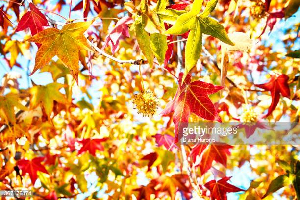 Sunlight is sparkling through some colorful Autumn Leaves.