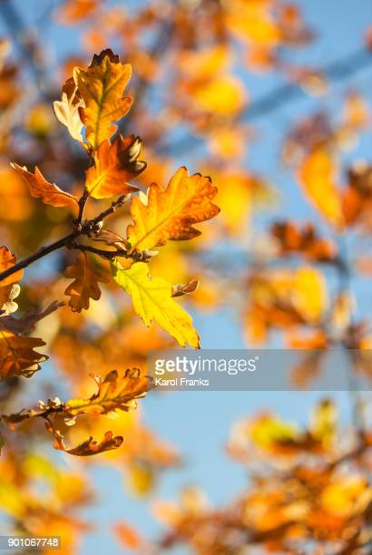 Sunlight on colorful oak leaves