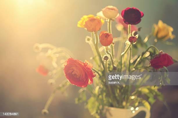 Sunlight on colorful ranunculus