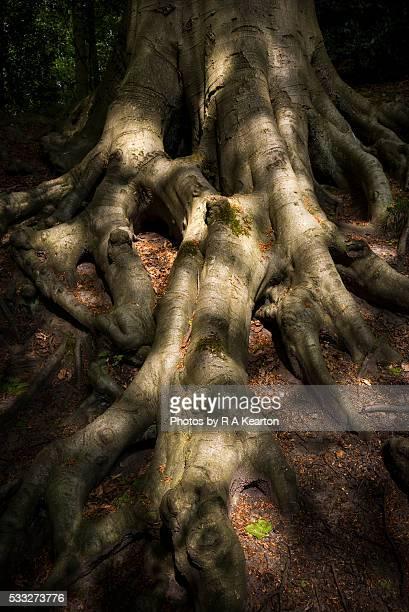 Sunlight on creepy Beech roots