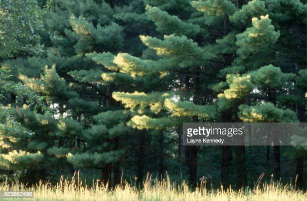 sunlight on eastern white pines - eastern white pine stock pictures, royalty-free photos & images