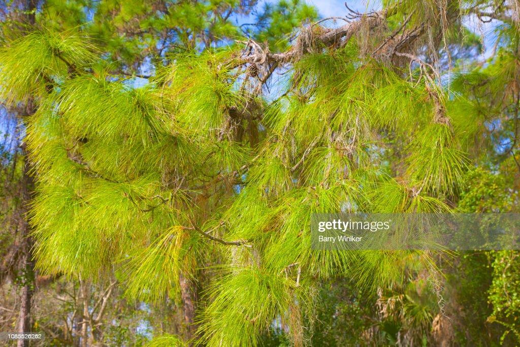 Sunlight On Pine Needles On Tree At Lemon Bay Park Englewood