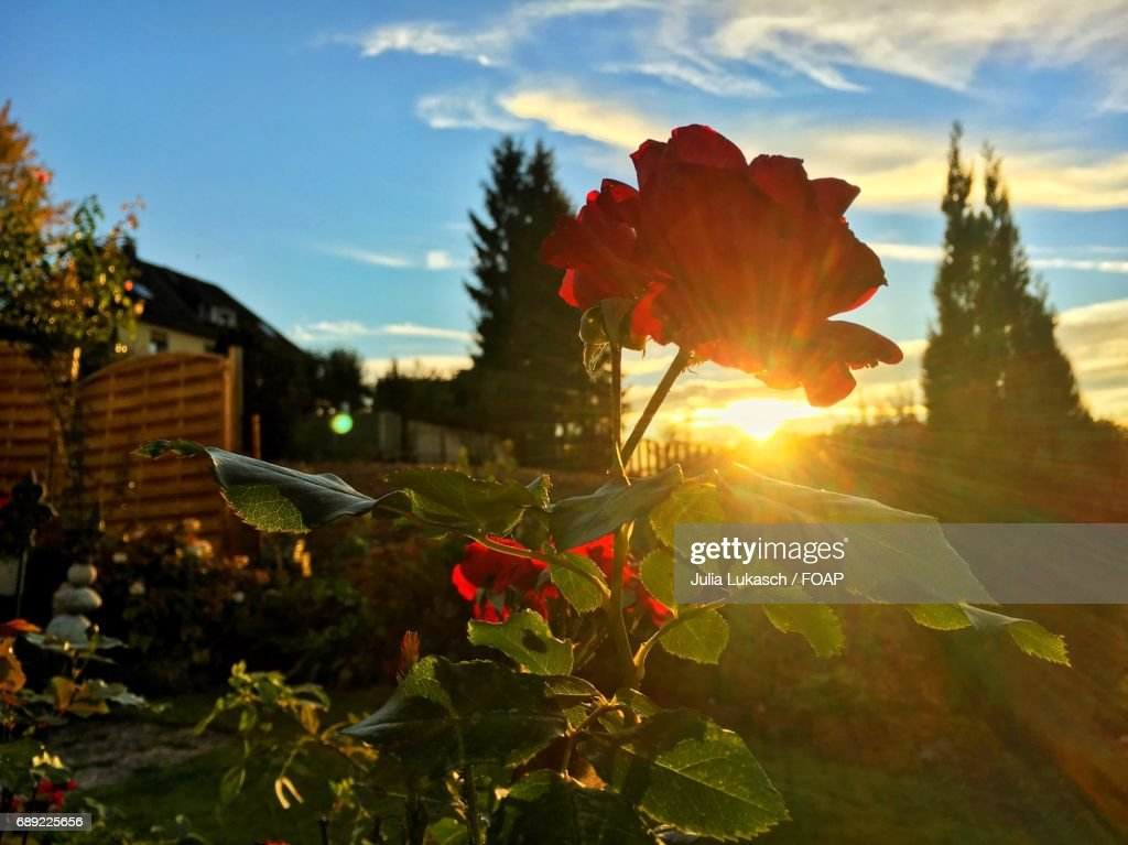 Sunlight on rose flowers : Stock Photo