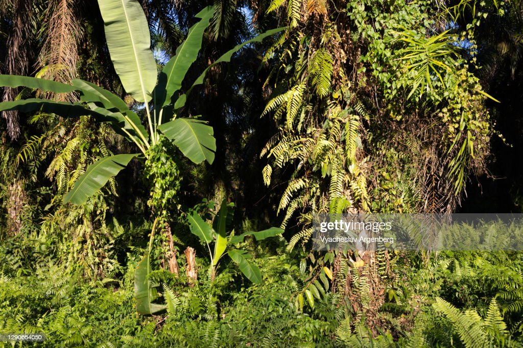 Sunlight on the grass, rich epiphytes, Tawau Hills Park, Malaysia : Stock Photo