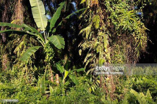 sunlight on the grass, rich epiphytes, tawau hills park, malaysia - argenberg stock pictures, royalty-free photos & images