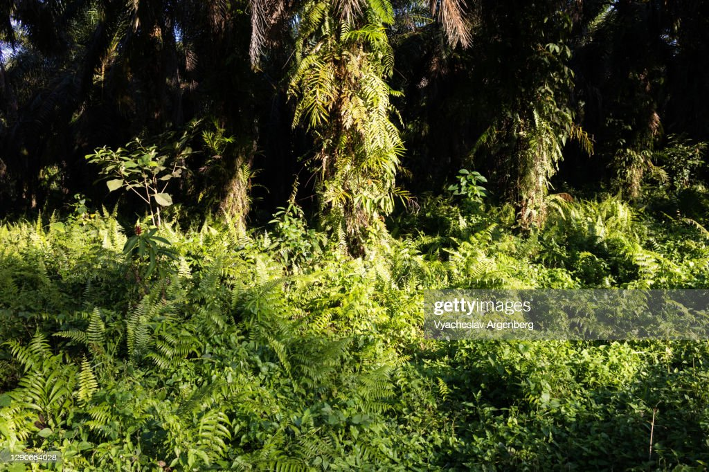 Sunlight on the grass, Tawau Hills, Malaysia : Stock Photo