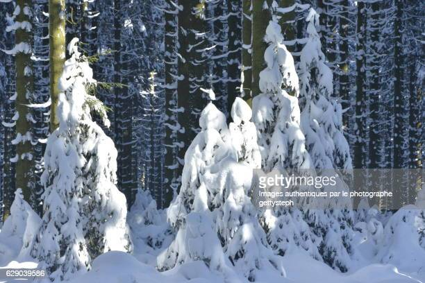 Sunlight on young coniferous trees covered snow