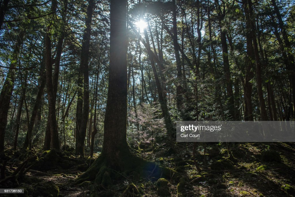 Sunlight shines through trees in Aokigahara forest, on March 13, 2018 in Fujikawaguchiko, Japan. Aokigahara forest lies on the on the northwestern flank of Mount Fuji and in recent years has become known as one of the world's most prevalent suicide sites. The density of the forest is believed to be a contributing factor with people often tying string to trees to find their way back to a path in case they change their mind. In 2010, officials recorded more than 200 attempted suicides in the forest with attempts said to increase during the end of the Japanese fiscal year. In recent years, local officials have stopped publicising the numbers in an attempt to decrease Aokigahara's association with suicide.