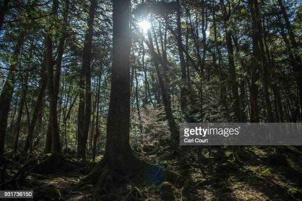 Sunlight shines through trees in Aokigahara forest on March 13 2018 in Fujikawaguchiko Japan Aokigahara forest lies on the on the northwestern flank...