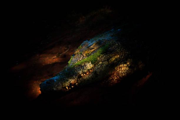 Sunlight shining on the head of a saltwater crocodile in a crocodile farm, Broome, Western Australia, Australia