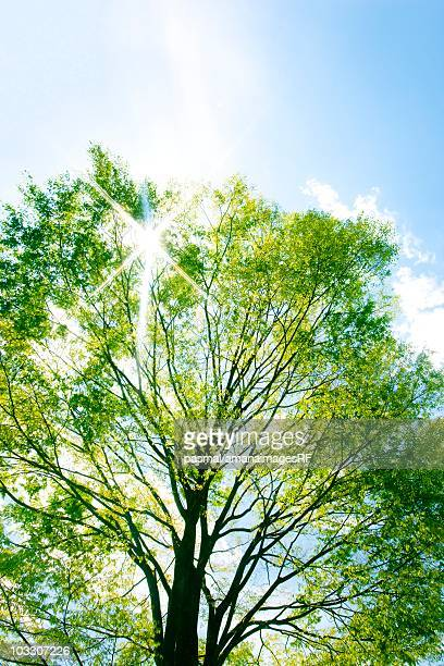 sunlight shining through an elm tree. tochigi prefecture, japan - elm tree stock pictures, royalty-free photos & images