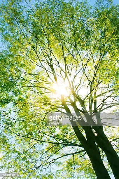 Sunlight shining through an elm tree. Tochigi Prefecture, Japan