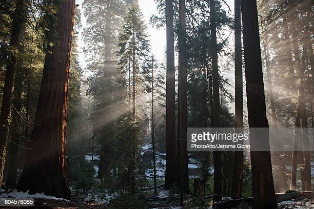 Sunlight shining through forest, Sequoia National Park, California, USA
