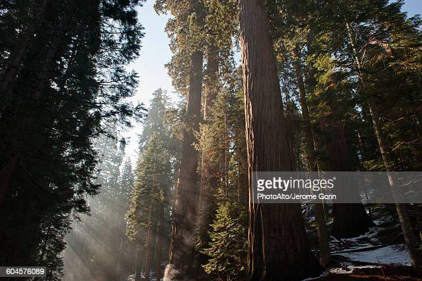 sunlight shining through forest, sequoia national park, california, usa - sequoia national forest stock photos and pictures