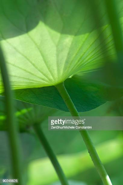 Sunlight shining through nasturtium leaves, low angle view