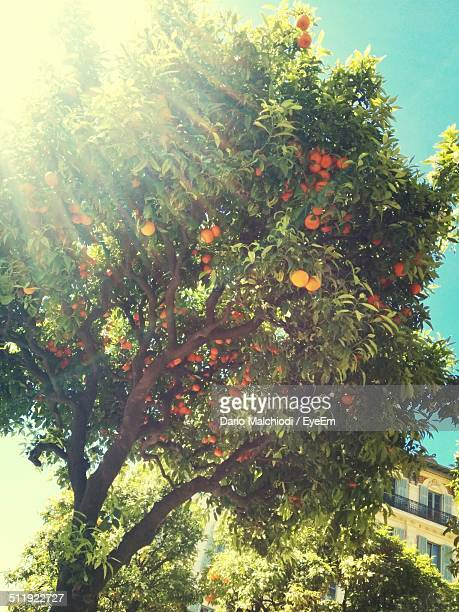 sunlight shining through orange tree - orange orchard stock photos and pictures
