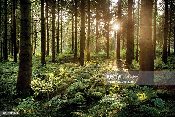 Sunlight shining through the conifer trees in Stockhill Forest near Wells, August 1, 2013.