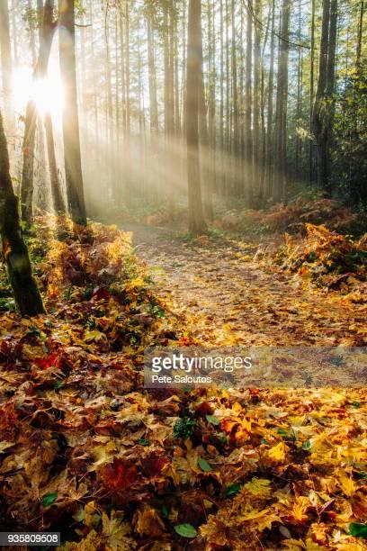 sunlight shining through trees in forest, bainbridge, washington, usa - kitsap county washington state stock pictures, royalty-free photos & images