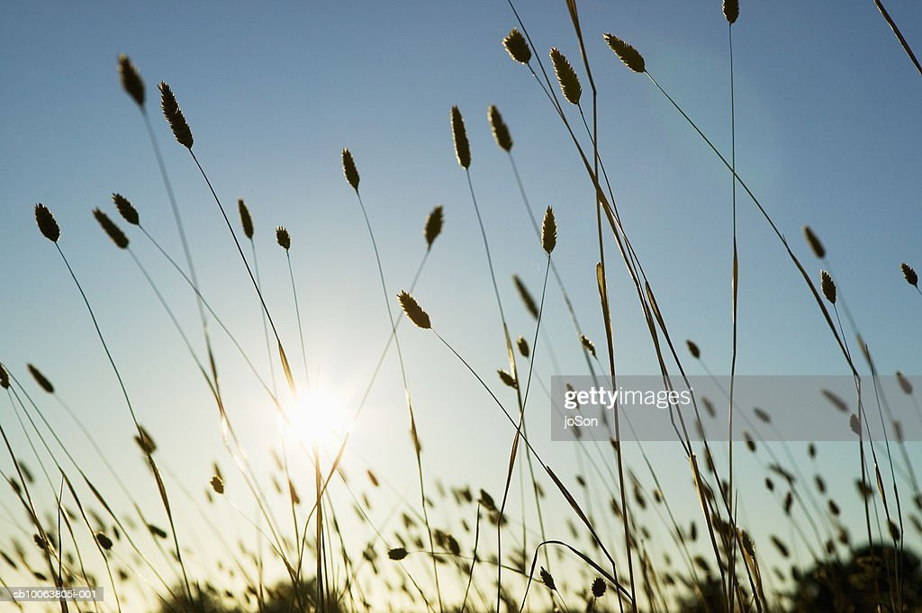 Sunlight shining through wild grass : Stock Photo