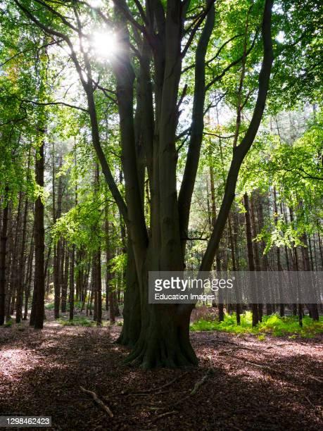 Sunlight shinning through trees, Thetford Forest, Norfolk, UK.