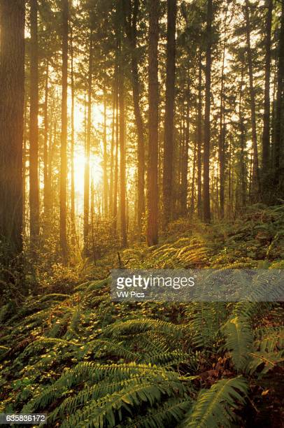 Sunlight streaming through Douglas Fir tree forest with ferns and ivy ground cover Forest Park Portland Oregon