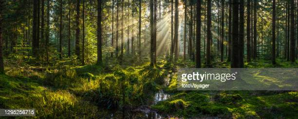sunlight streaming through forest canopy illuminated mossy woodland glade panorama - dawn stock pictures, royalty-free photos & images