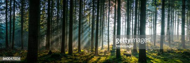 sunlight streaming through misty pine forest woodland panorama at sunrise - german shorthaired pointer stock pictures, royalty-free photos & images