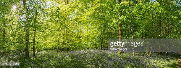 Sunlight streaming through summer woodland idyllic forest panorama