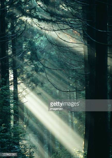 Sunlight Streaming Through the Leaves of Trees