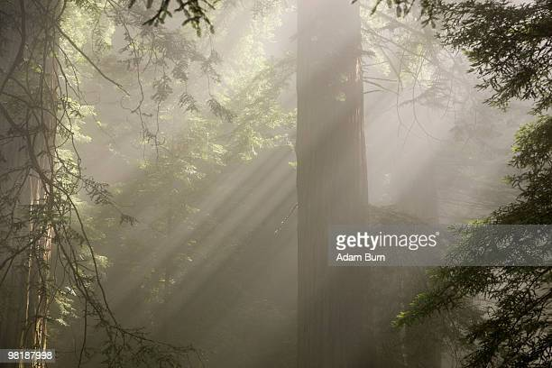 Sunlight streaming through trees in a forest