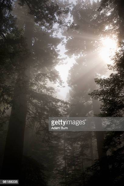 Sunlight streaming through trees in a misty forest